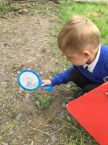 Using a magnifying glass to examine the insects